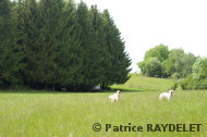 Chiens en alerte, devant le troupeau - raydelet - 33