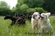 Amande et Cairn en compagnie du troupeau - raydelet - 35