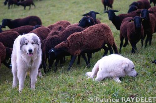 L'accouplement d'Amande et de Caïrn sur l'estive laisse augurer d'une portée cet hiver dans la bergerie.