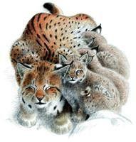 """""""Sur les pas du lynx"""""""
