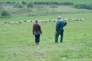 Intégration de Caroline dans le troupeau des moutons