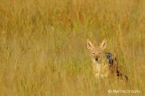 Le chacal à chabraque est le prédateur ennemi n°1 des fermiers du Karoo car il s'attaque aux agneaux.