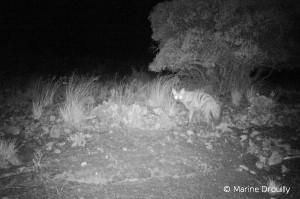 Le protèle est un insectivore nocturne de la famille des hyénidés. Il est persécuté car il creuse des terriers et des passages sous les enclos sensés empêcher les prédateurs d'entrer dans les zones à moutons