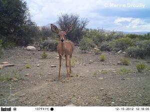 Photographie d'un raphicère, petite antilope présente dans notre zone d'étude et proie importante pour le caracal.