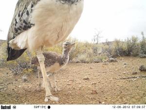 Les pièges photographiques nous permettent aussi de déterminer les périodes des naissances. Les premières pluies de décembre ont apporté la nourriture nécessaire aux petits. Ici, l'oisillon d'une outarde kori, le plus gros oiseau africain pouvant voler.