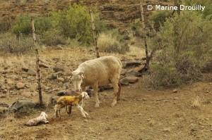 La saison des naissances a débuté chez les brebis aussi. Les fermiers sont tendus car c'est la période où le cheptel est le plus vulnérable aux prédateurs. Ici, une brebis venant de donner naissance à deux jumeaux.