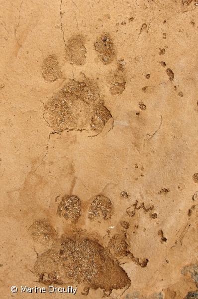 Empreintes de léopard au sein de la Réserve naturelle d'Anysberg.