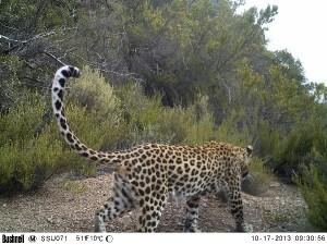 Photo3 : Seul super prédateur présent dans le Karoo, le léopard se cantonne dans les montagnes les plus reculées de la Réserve et les gorges densément végétalisées.