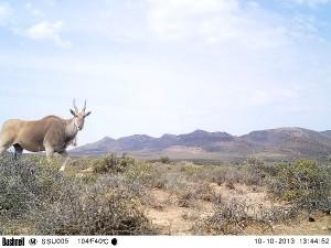 L'élan du Cap est le plus gros herbivore d'Afrique. Il est présent à Anysberg et souvent représenté dans les arts rupestres des premiers chasseurs San.