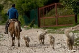 Eleveur et chiens de protection Abruzzes - Patrice RAYDELET