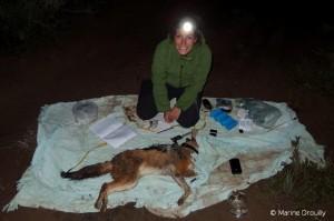 Le jeune chacal Leroy anesthésié et sur lequel Marine a posé un collier GPS.