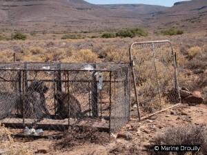 Babouins piégés dans une cage par un éleveur du Karoo, dans le but de contrôler leur nombre et leurs attaques sur les troupeaux.
