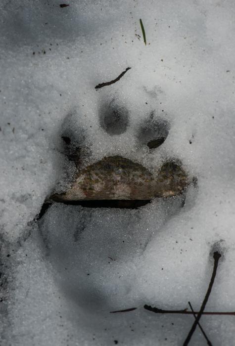 Patrice RAYDELET_- empreinte de jeune lynx 6